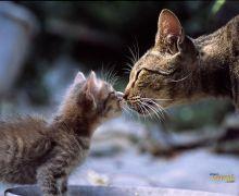 Cat kitten mother